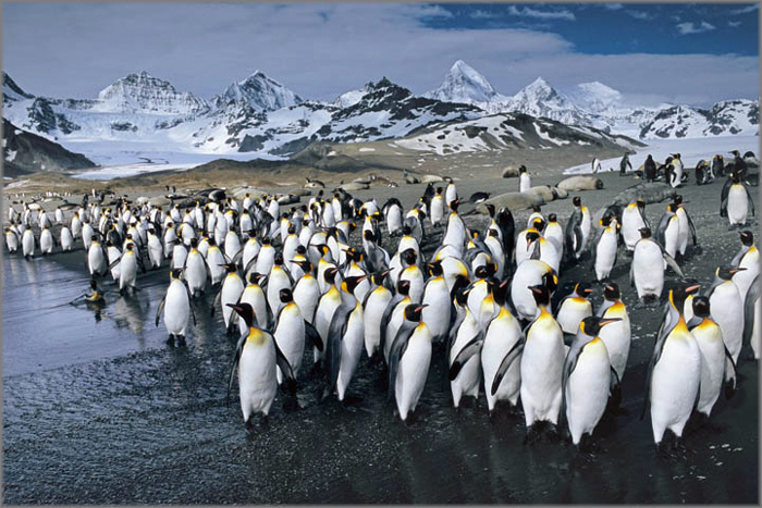 Anthony Cook - King Penquins - Antartic Abstract